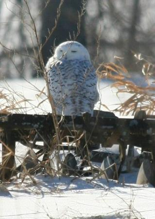 Snowy owl in the North Meadow