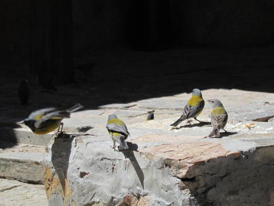 """Termas de Fiambala: Pajaritos migratorios ( """"comesebo"""") que abundan en el complejo."""