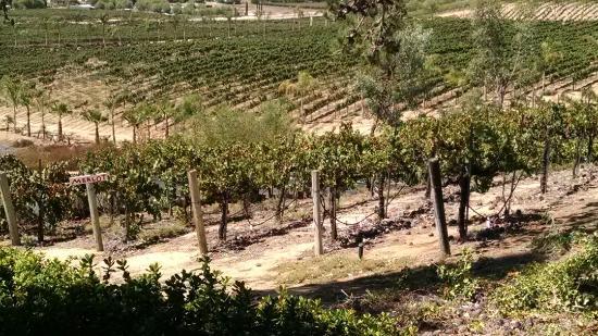 Falkner Winery: Little merlot grapes