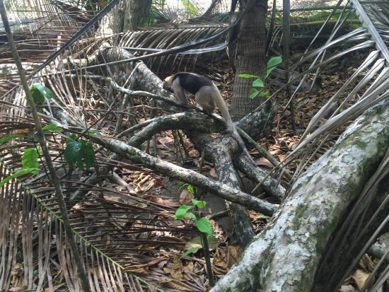 Puerto Jimenez, Costa Rica: anteater