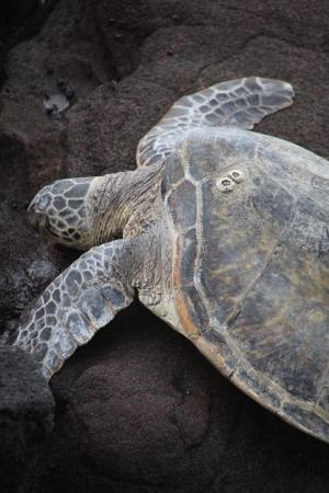 The turtles were back this morning relaxing at the end of the Mahina Surf property.
