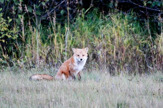 Kodiak Legends Lodge: A fox near the lodge