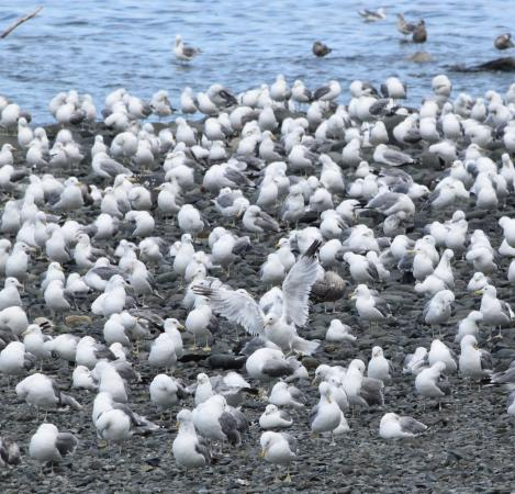 Nanaimo, Canadá: Seagulls...faaasands of em!!