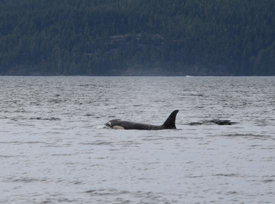 Nanaimo, Canada: This one stayed near the surface...It is called Logging