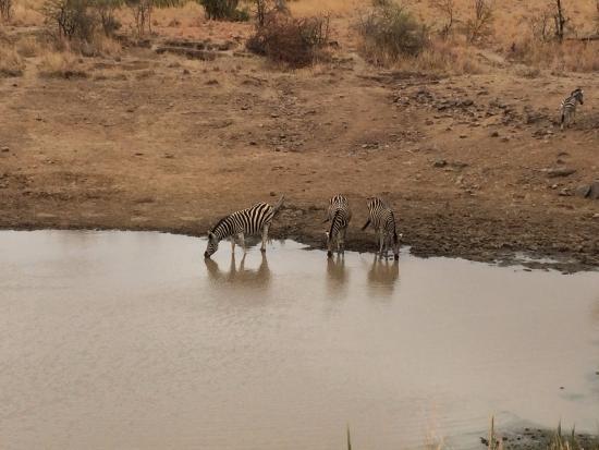Ama-Zing Pilanesberg Safari Private Day Tour : Zebras