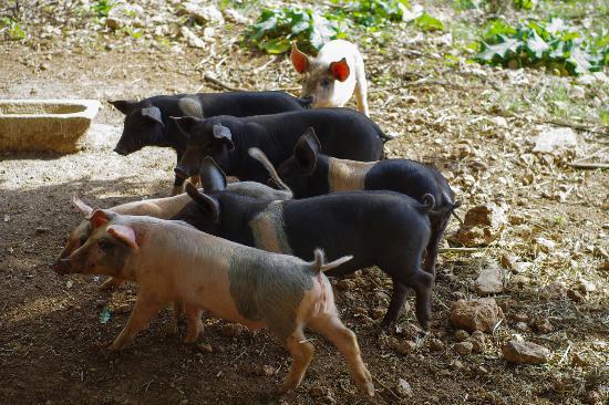 Agriturismo Casa Al Gianni: Поросятки