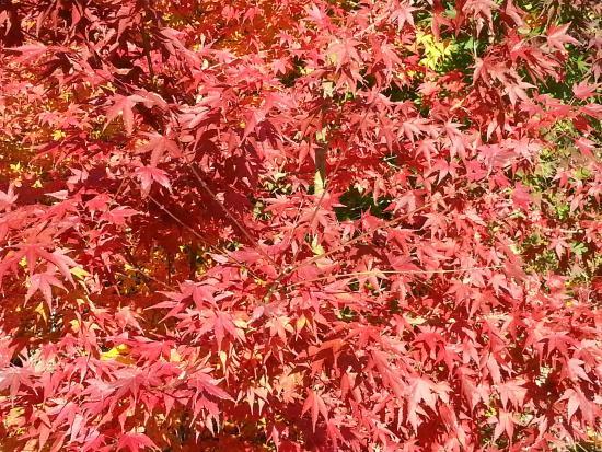 Fukusada no Oicho (Big Maidenhair Tree)