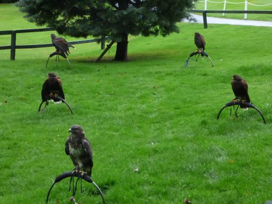 Some Of The Other Birds Picture Dalhousie Castle Falconry