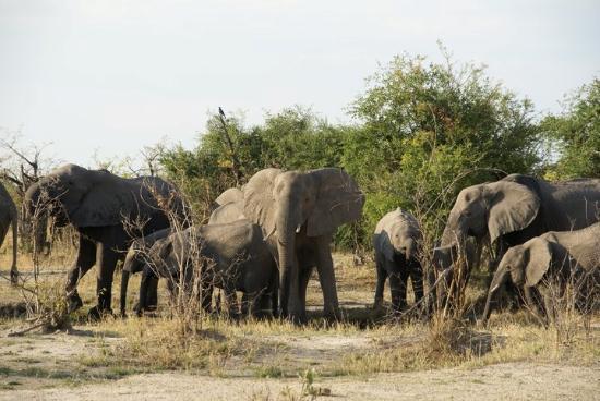 Belmond Savute Elephant Lodge : Слонов в этом Национальном парке больше всего.
