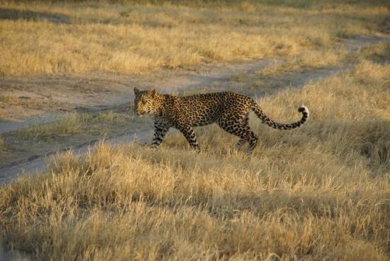 Belmond Savute Elephant Lodge : Мой первый в жизни леопард