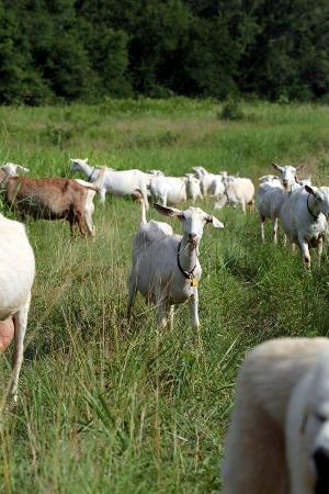 Chester, Caroline du Sud : Goats Browsing in the Field