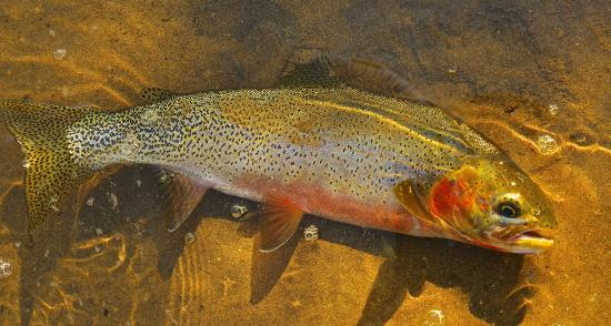 Cowboy Up Montana Roadhouse Dinner & Bed: A beautiful Clark Fork Cutthroat trout