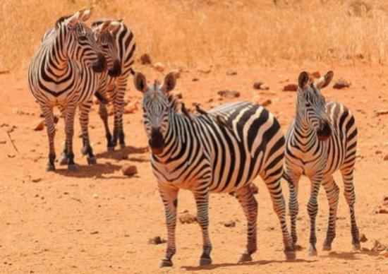 Wildlife Safari Exploreans Day Trips: Zebras