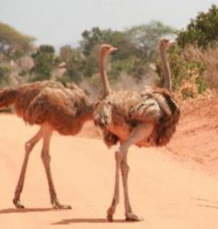 Wildlife Safari Exploreans Day Trips: Ostrich