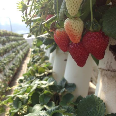 strawberry picking ricardoes tomatoes port macquarie wwwwwomenwithcentscomau