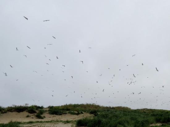 Blaavand, Dänemark: Mågekoloni