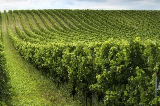 إن آت سان لويس أوبيسيبو: Vineyards