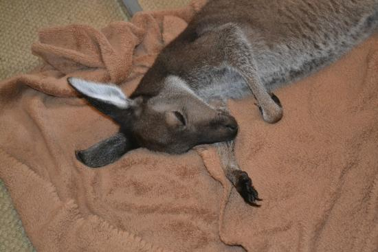 HideAway Haven: Sammie Jo our rescue joey - all tired out