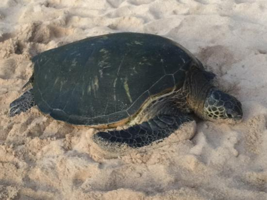 Paia, Hawaï: It's awesome to see these Green Turtles come onto the beach.  They start coming in around dusk,