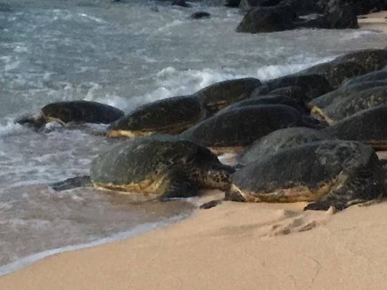 Пайя, Гавайи: It's awesome to see these Green Turtles come onto the beach.  They start coming in around dusk,