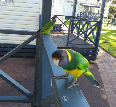 Yallingup Beach Holiday Park: Friendly visitors to my cabin