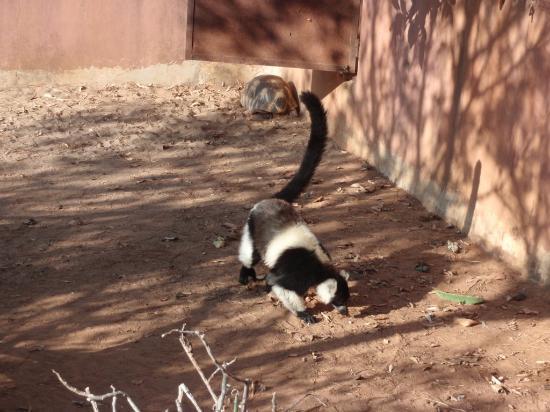 lemurs park lemure vari
