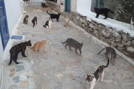 Diosmarini: la rue des chats...
