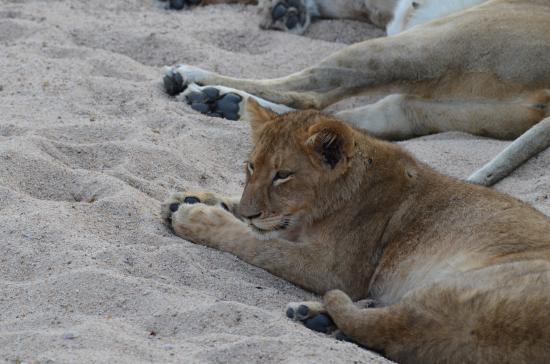 lionceau picture of sabi sand game reserve kruger national park