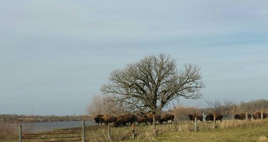 Estherville, IA: Bison at Little Swan Lake Winery