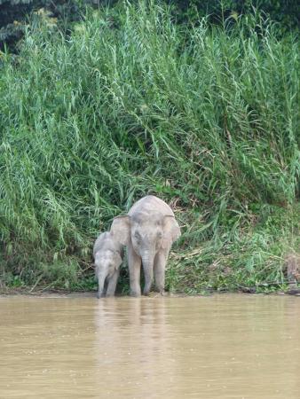 Osman's Homestay: Pygmae elefants