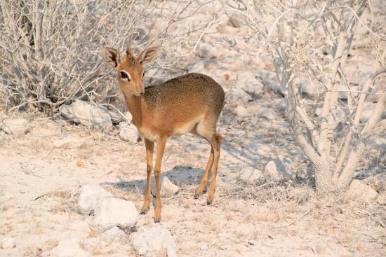 Σβακοπμούντ, Ναμίμπια: Dick Dick, Etosha Park, Namibia