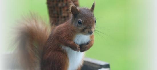 Fat Lamb Country Inn and Restaurant: Red squirrel visitors!