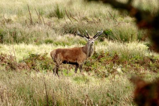 Exmoor Ulusal Parkı, UK: Exmoor stag