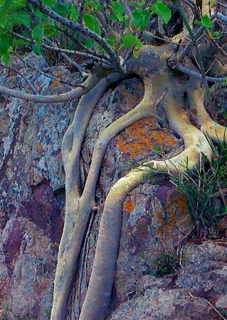 Jozini, South Africa: GIANT LEAF ROCK FIG