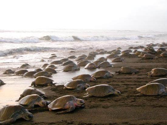 Ostional Arribada Sea Turtle Nesting
