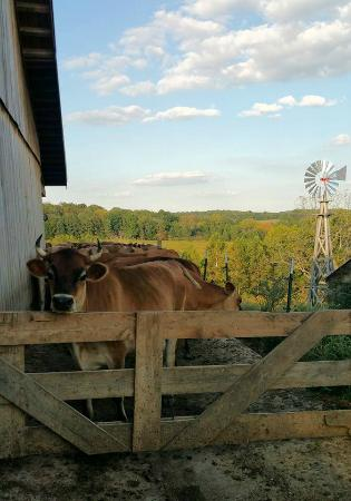 Owensville, Missouri: Time for milking.