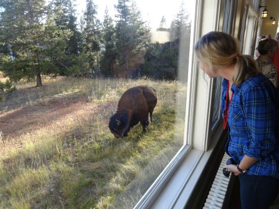 Beau Lake Yellowstone Hotel Dining Room: Bison Outside The Dining Room Window At  The Lake Hotel
