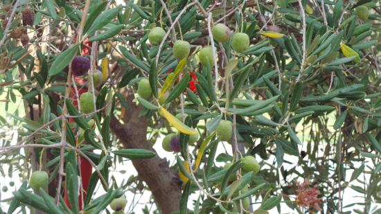 Polemi, Chipre: Olive tree