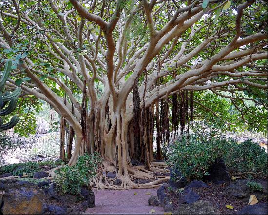 Fantastic tree bild von jardin canario las palmas for Jardin canario restaurante