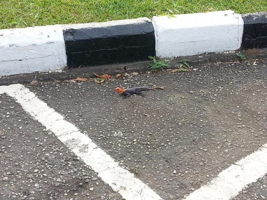 Sheraton Lagos Hotel: Red headed lizard in parking area