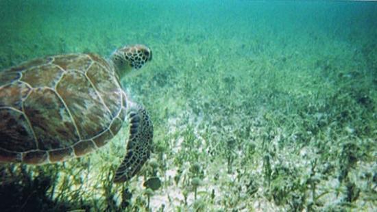Oyster Pond, St. Martin/St. Maarten: Snorkeling with sea turtles on Tintamarre Island