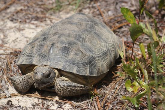 Bristol, FL: Gopher Tortoise