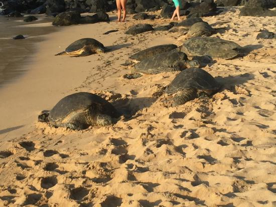 Пайя, Гавайи: So many turtles!