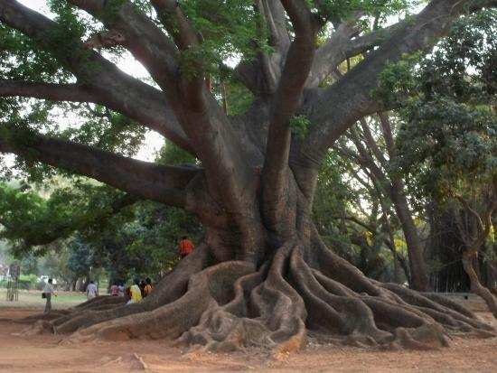 Tree fossil picture of lalbagh botanical garden for Garden city trees