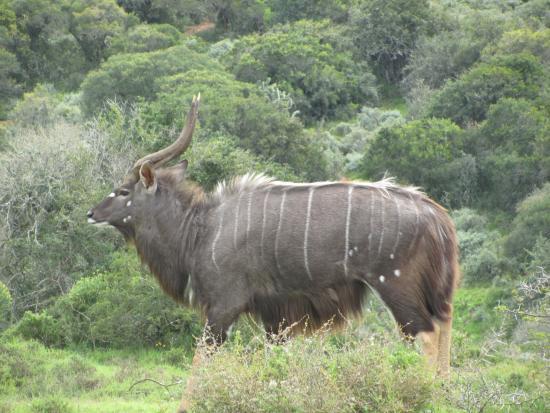 Alexandria, Güney Afrika: Sibya Antilope