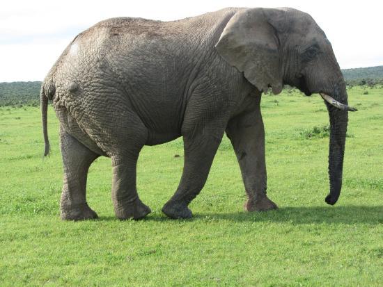 Alexandria, Güney Afrika: Addo Elephant Park- wie der Name schon sagt :-)