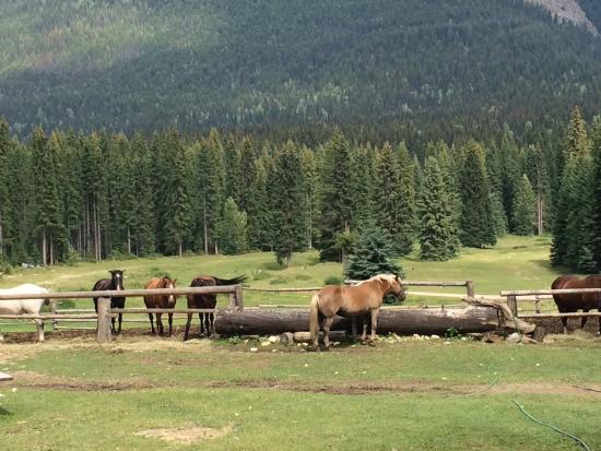 Beaverfoot Lodge: Caballos del hotel