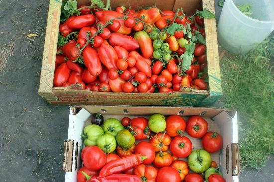 Skamokawa, WA: Tomato Harvest