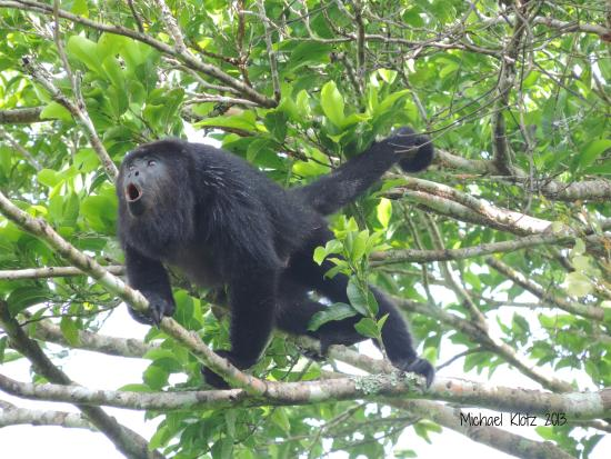 Crystal Paradise Resort: Mexican Black Howler Monkey