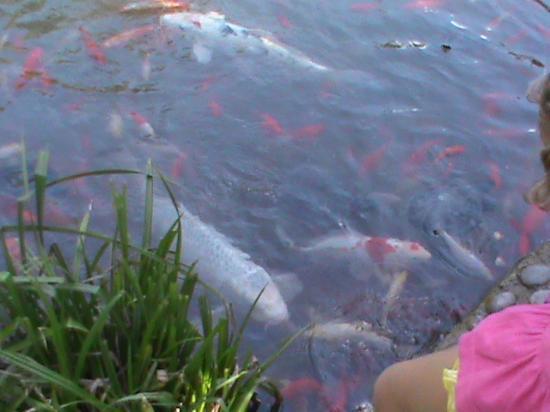 Pesci nel laghetto picture of arboretum of arco arco for Quali pesci mettere nel laghetto